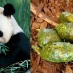 The tea of the future: Panda poo?